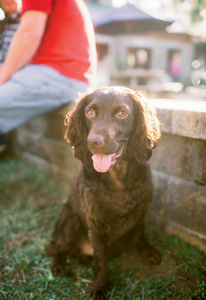 Abe, the new family's Boykin Spaniel. (Photo by Tim Will)