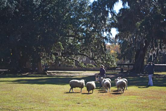 """The sheep, """"Poster Boy,"""" is one of the many heritage breeds at Middleton Place."""